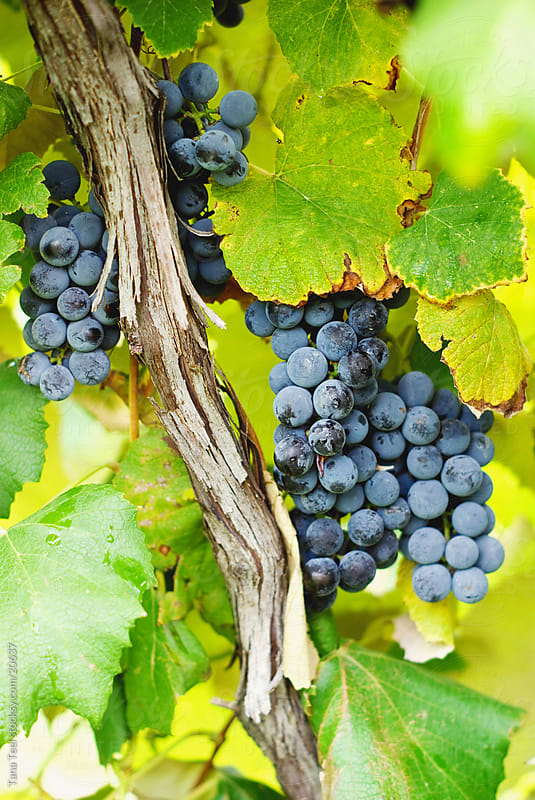 Two clusters of ripe grapes hanging from a vine.  by Tana Teel for Stocksy United