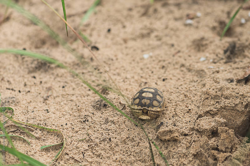 A Tiny Turtle In A Sandy Area by Alison Winterroth for Stocksy United