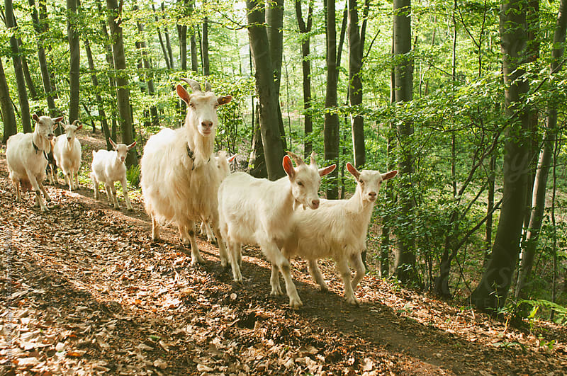 Goats in a forest by Brkati Krokodil for Stocksy United