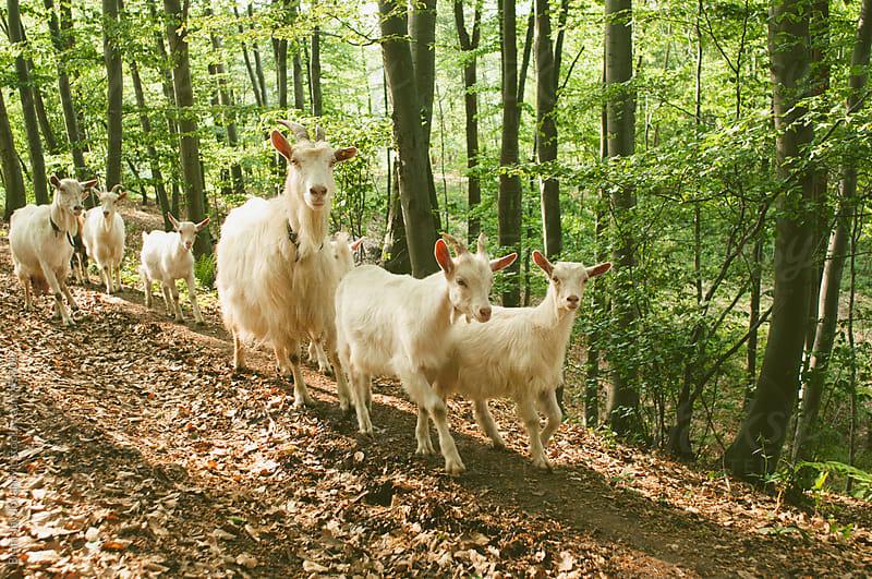 Goats in a forest by Branislav Jovanović for Stocksy United