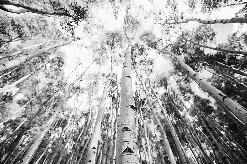 Aspen Canopy by Carl Zoch for Stocksy United