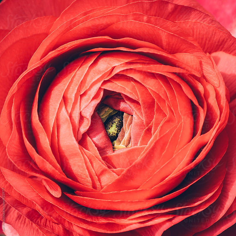 close up of a red flower by Juri Pozzi for Stocksy United