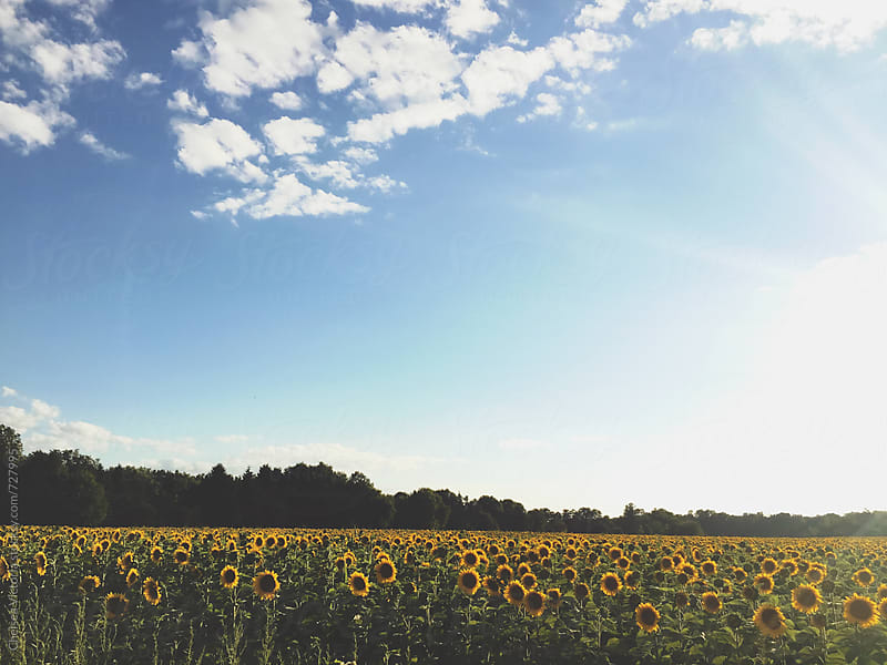 A field of sunflowers by Chelsea Victoria for Stocksy United