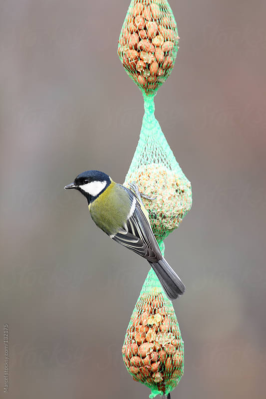 Great tit on net with food by Marcel for Stocksy United
