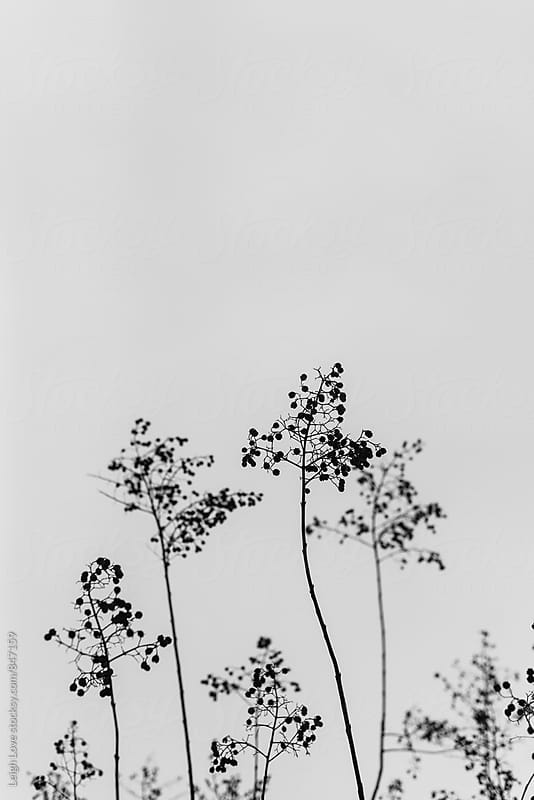 Black And White Branches With Seed Pods by Leigh Love for Stocksy United