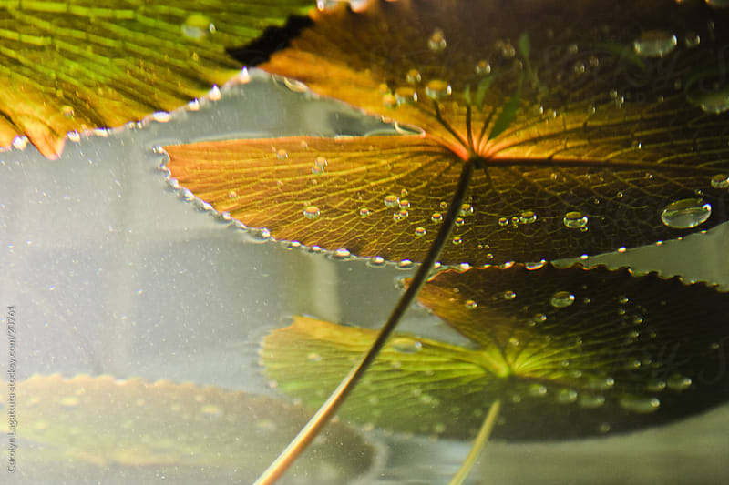 View from the bottom of the pond - Lily pads floating on the top of the water by Carolyn Lagattuta for Stocksy United