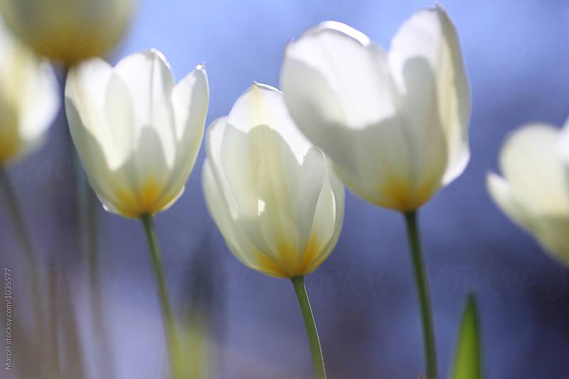 White tulips against blue sky by Marcel for Stocksy United