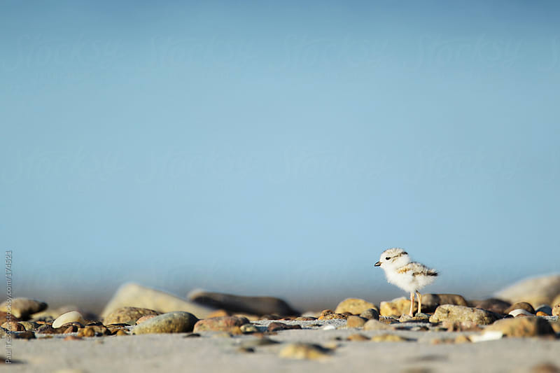 Piping Plover Chick by Paul Tessier for Stocksy United