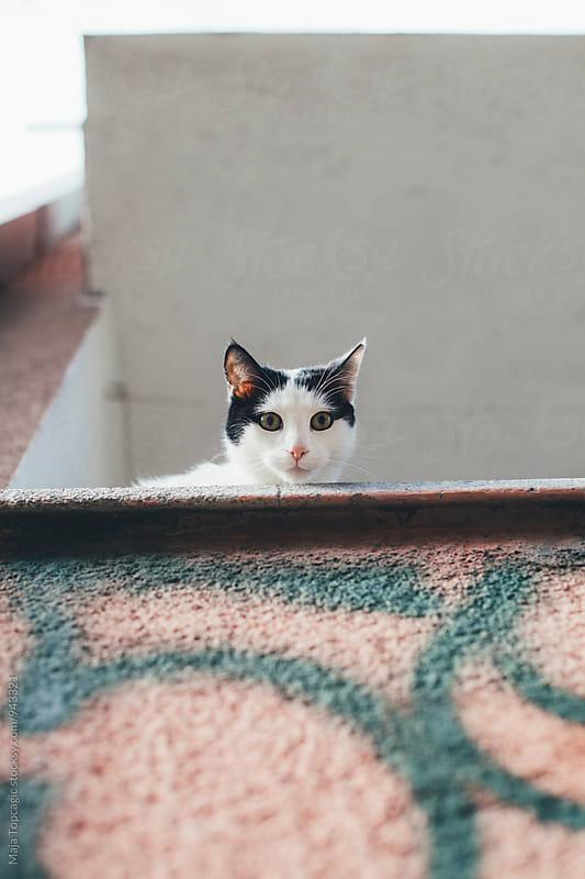 Cat on a balcony looking in camera by Maja Topcagic for Stocksy United