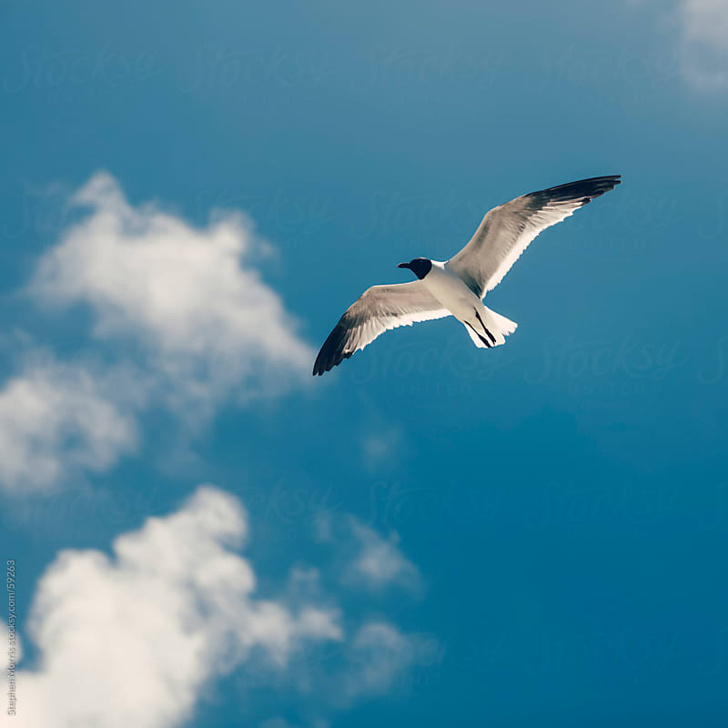 Seagull in Flight by Stephen Morris for Stocksy United