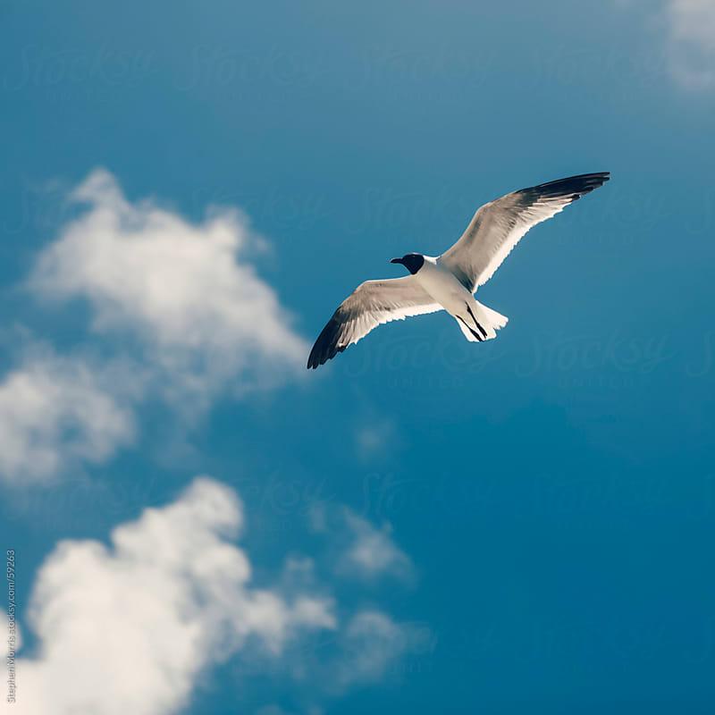 Seagull in Flight by Stephen Morris for Stocksy United