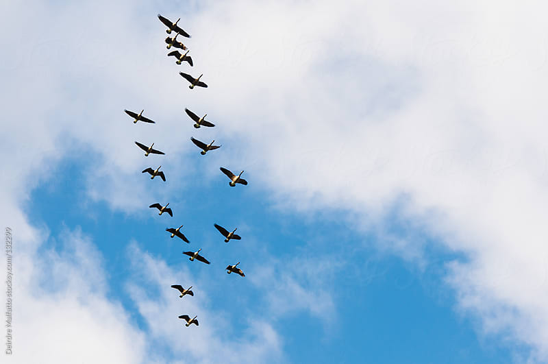 flock of geese flying south against a blue sky with clouds by Deirdre Malfatto for Stocksy United