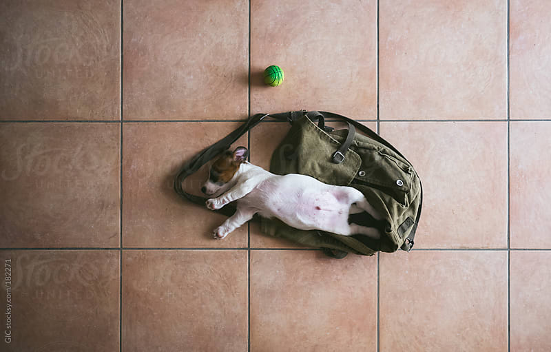 Jack Russell puppy sleeping on a bag by GIC for Stocksy United