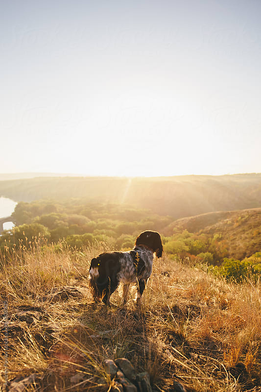 Cocker Spaniel meeting the sunrise by Andrey Pavlov for Stocksy United