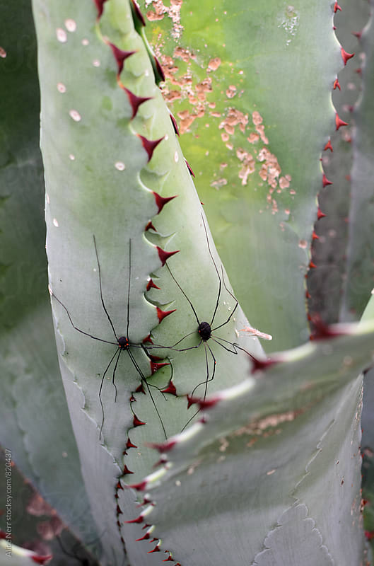 Two black spiders with red dots and very long legs in between agave leaves by Alice Nerr for Stocksy United