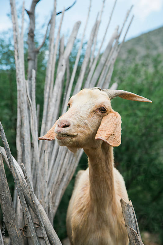 A portrait of a goat in Mexico by Gary Parker for Stocksy United