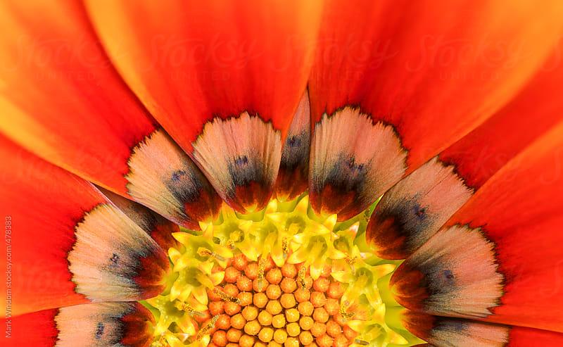 Gazania flower, closeup by Mark Windom for Stocksy United