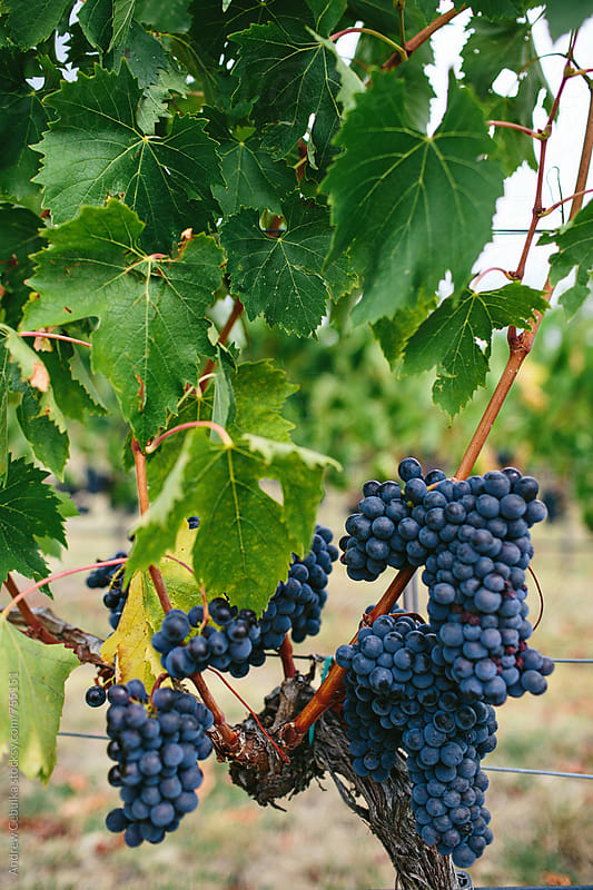 Grapes in Tuscany by Andrew Cebulka for Stocksy United