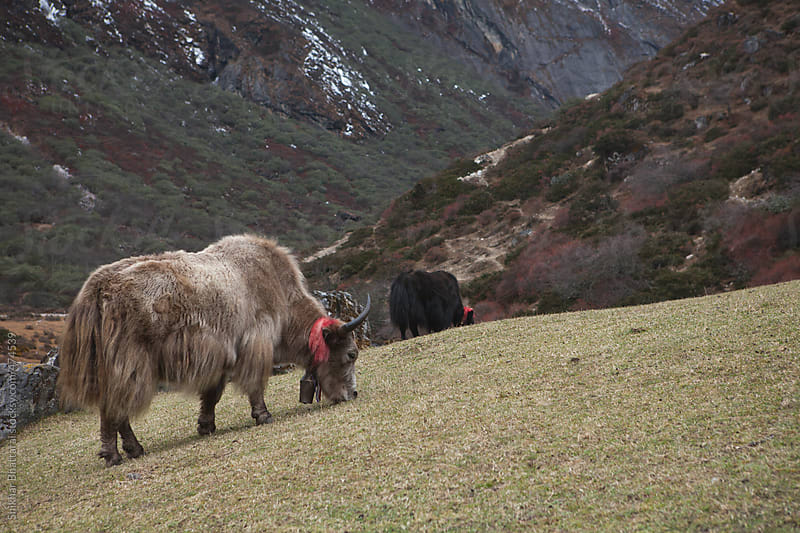 A yak grazing high up in the himalayas. by Shikhar Bhattarai for Stocksy United