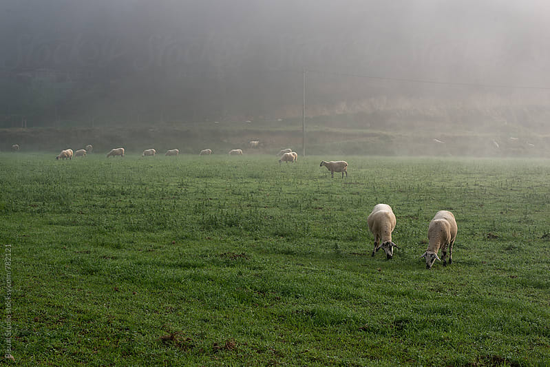 A flock of sheep grazing in a field on a foggy day, Catalonia by Bisual Studio for Stocksy United