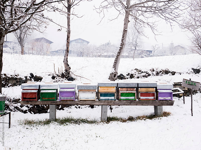 Wooden beehives in a snowy field by Jean-Claude Manfredi for Stocksy United