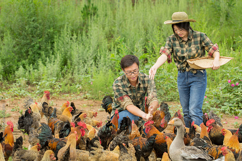 Young couple farmer feeding chicken at poultry farm by Maa Hoo for Stocksy United