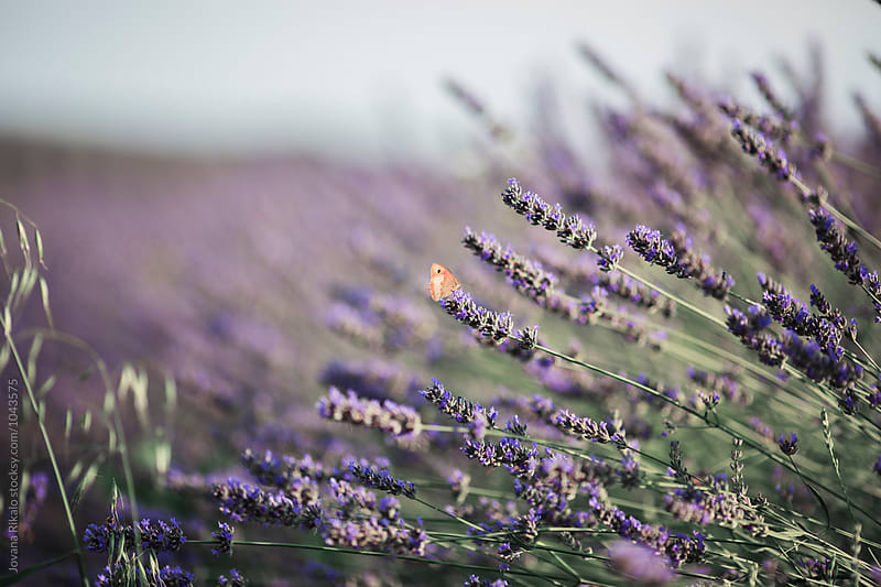 Lavender and butterfly by Jovana Rikalo for Stocksy United