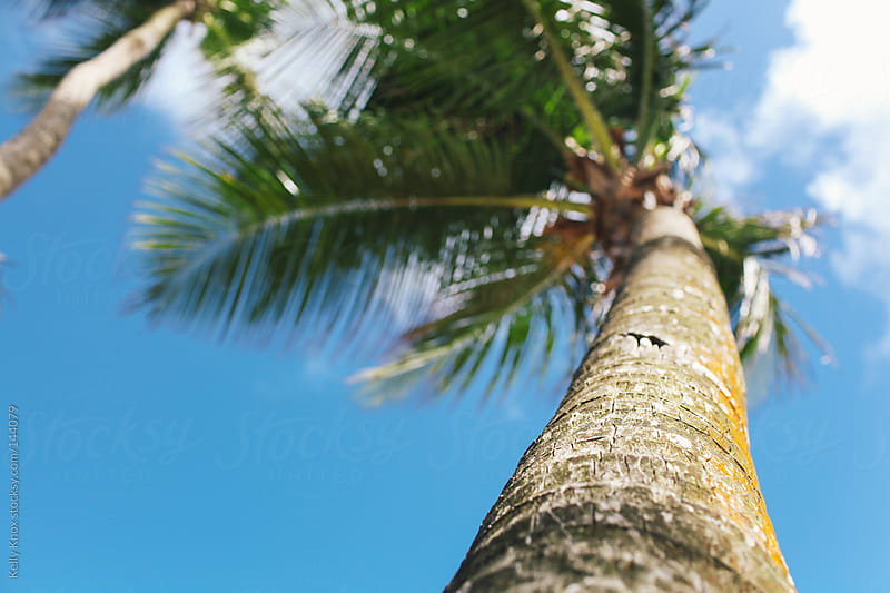 looking up at a palm tree by Kelly Knox for Stocksy United
