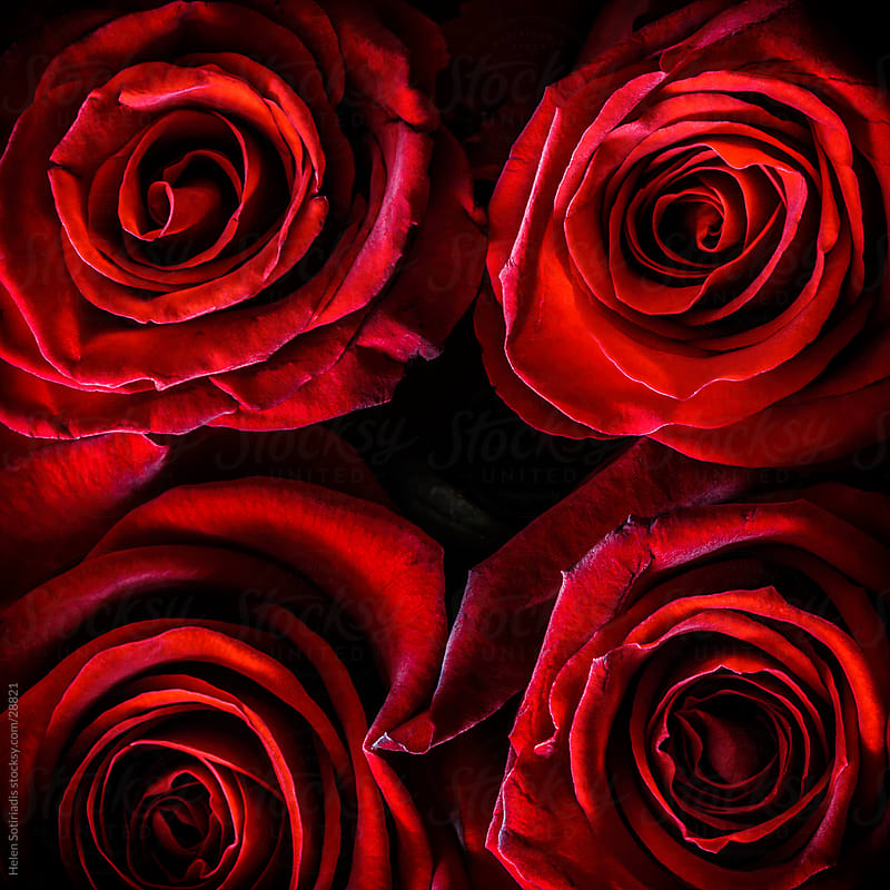 Closeup of four red roses by Helen Sotiriadis for Stocksy United