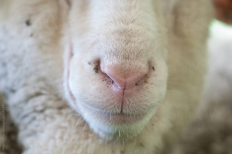 Sheep's snout by Pixel Stories for Stocksy United