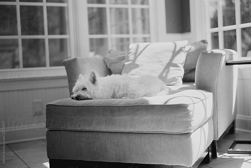 Black and white portrait of a cute white dog resting on a big chair by Jakob for Stocksy United
