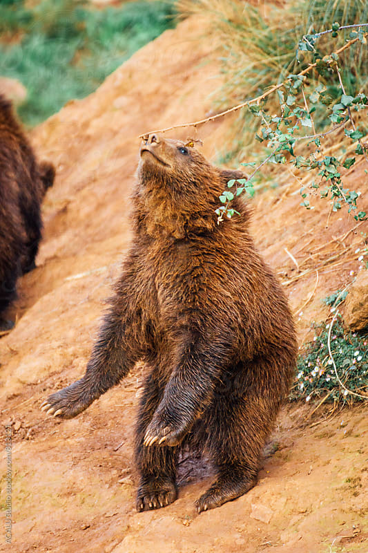 Young brown bear playing with a branch by ACALU Studio for Stocksy United