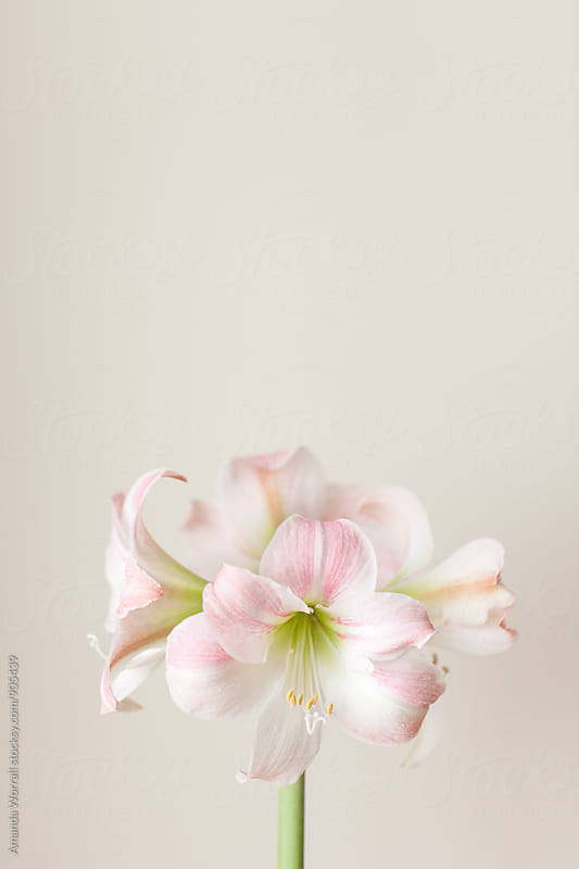 Pink and white Amaryllis bloom with copyspace above, vertical by Amanda Worrall for Stocksy United