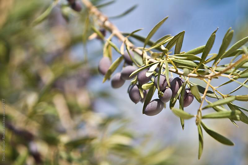Olives by Török-Bognár Renáta for Stocksy United