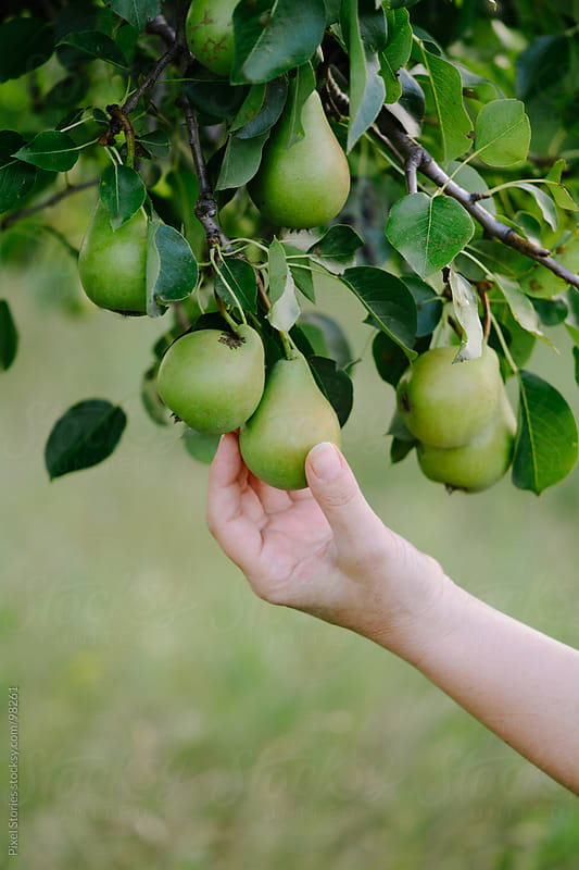 Woman picking pears by Pixel Stories for Stocksy United