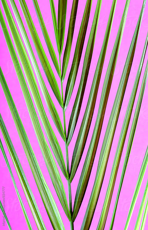 Beautiful palm leaf on  pink by Marcel for Stocksy United