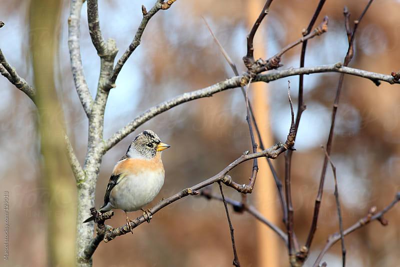 Brambling bird in a fruit tree by Marcel for Stocksy United