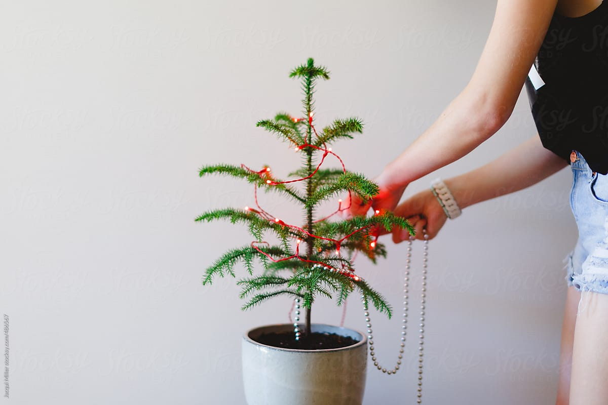 Girl Decorating A Small Norfolk Island Pine Tree For Christmas ...