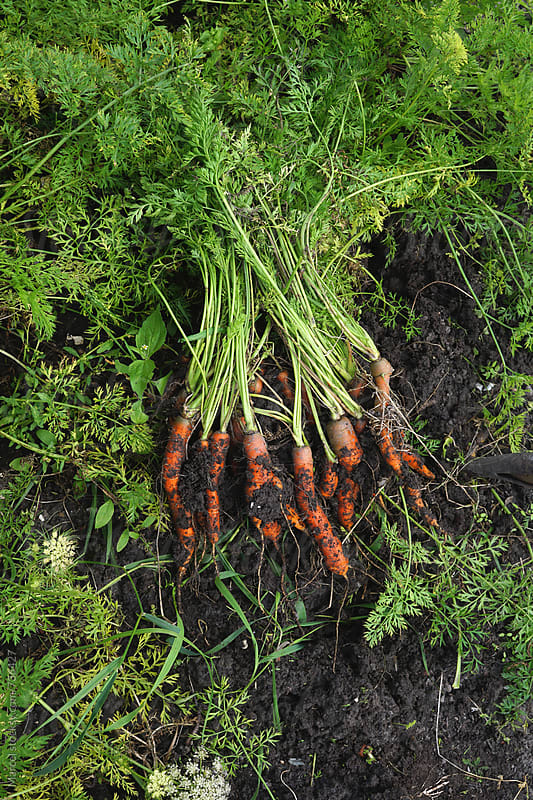 Carrots just harvested in a vegetable garden by Marcel for Stocksy United
