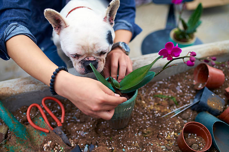 aisan male florist planting flower in pot with his dog in arm by Bo Bo for Stocksy United