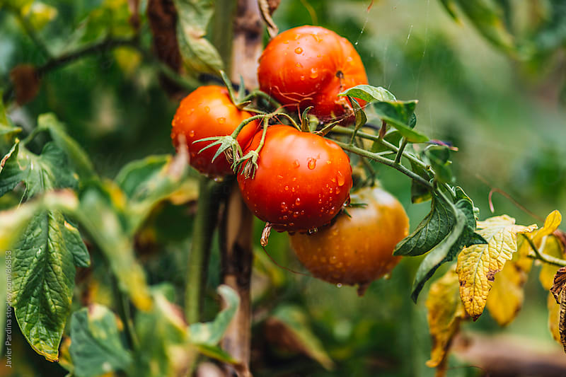 fresh tomatoes still growing by Javier Pardina for Stocksy United