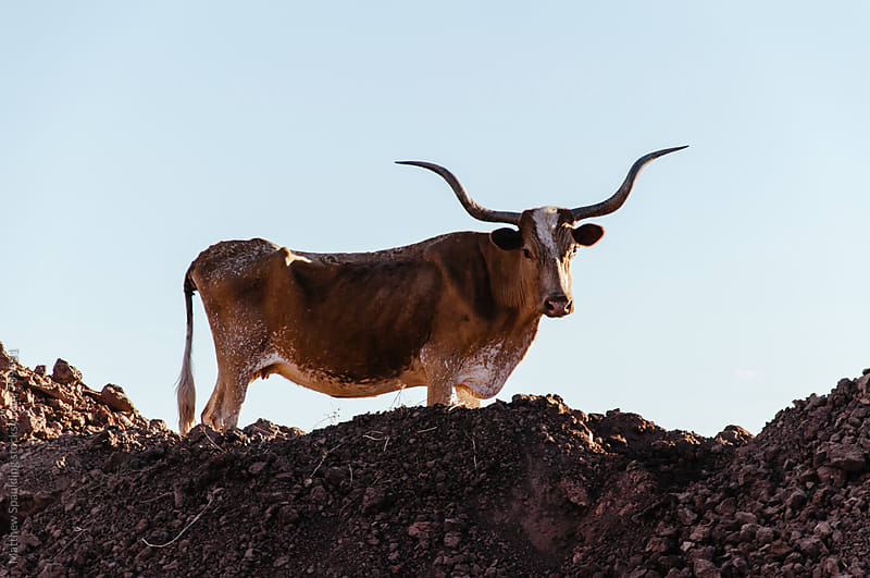 Texas longhorn cattle in  dirt field by Matthew Spaulding for Stocksy United