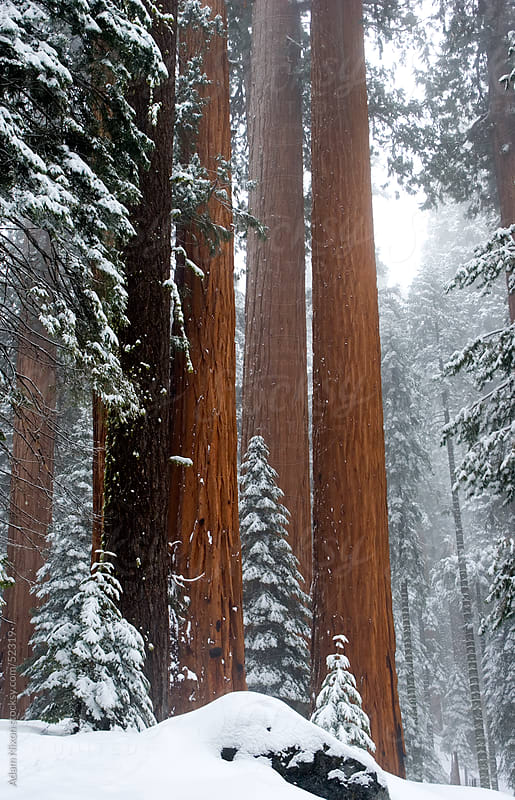 Giant Sequoia trees in the Sequoia & Kings Canyon National Park by Adam Nixon for Stocksy United