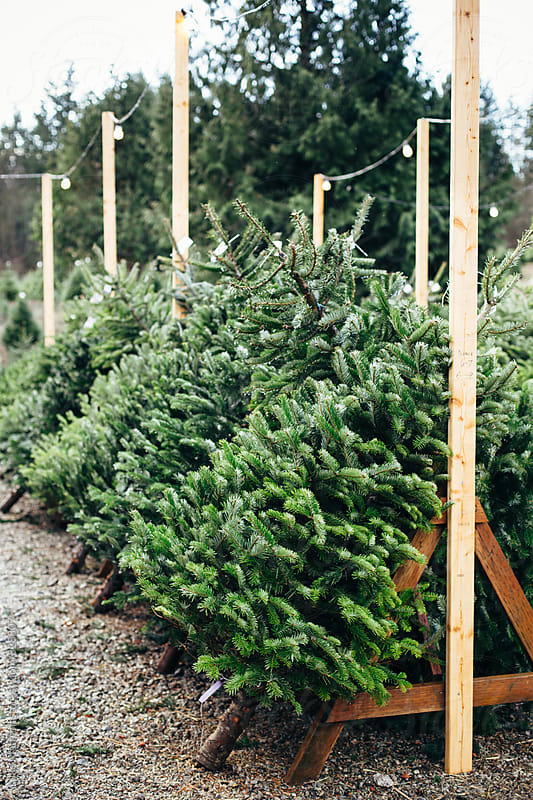 Various Pre-Cut Christmas Trees For Sale Leaning Against Wooden Trestles by Luke Mattson for Stocksy United