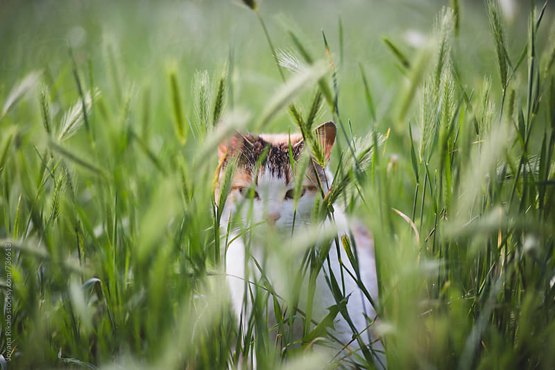 Cat in grass by Jovana Rikalo for Stocksy United