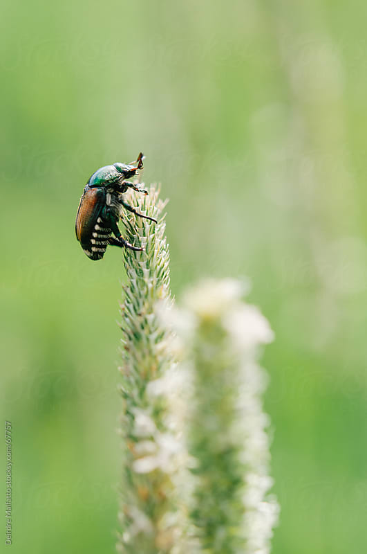 macro of japanese beetle climbing stalk of grass by Deirdre Malfatto for Stocksy United