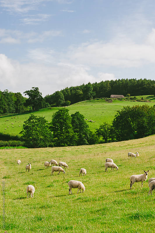Sheep grazing in Wales by Jen Grantham for Stocksy United
