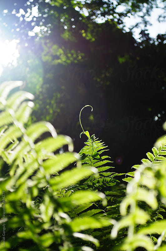 Fern in forest by Saptak Ganguly for Stocksy United