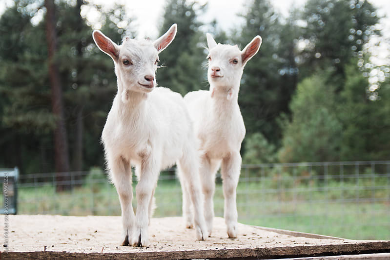 Young baby goats by Justin Mullet for Stocksy United
