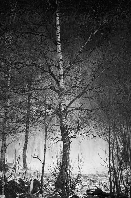 Snowstorm in a forest. Black and white photo. by BONNINSTUDIO for Stocksy United